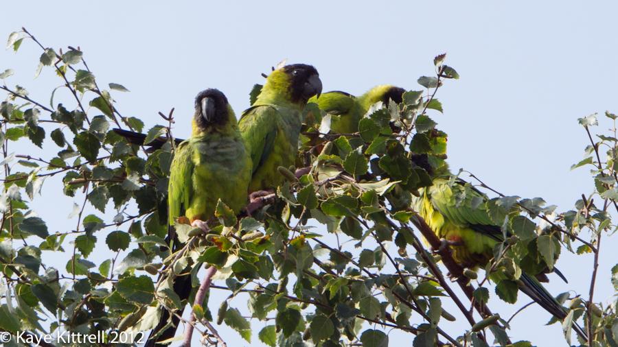 Parrots are BA-ACK!