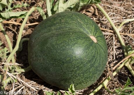 August Watermelon Update-odd-shaped melon