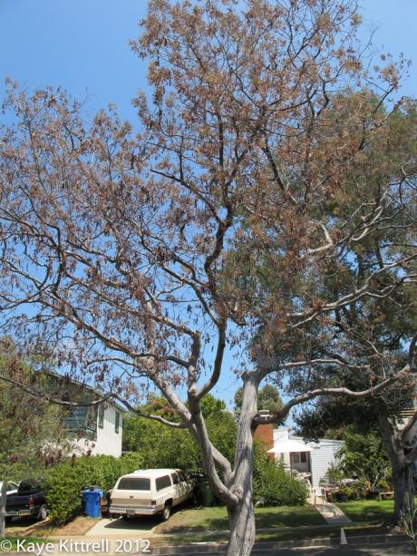 Dead Acacia Tree