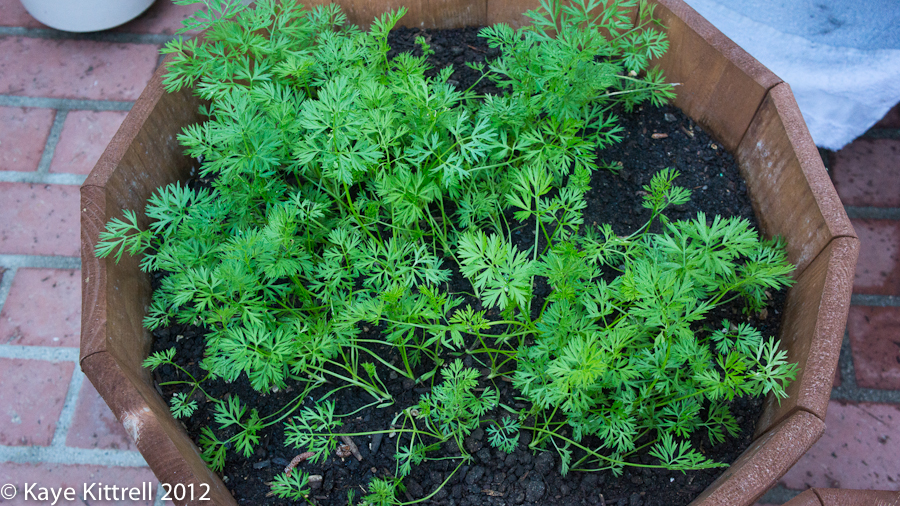 Carrots Growing in a Pot