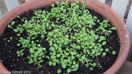 Arugula Sprouting