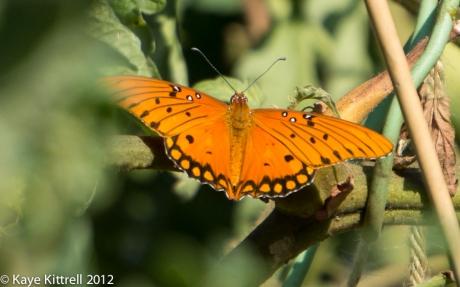 Orange Butterfly - Gulf Fritillary