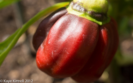 Purple Bell Pepper, Red Stage
