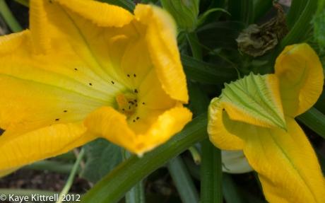 Green Zucchini Blooms