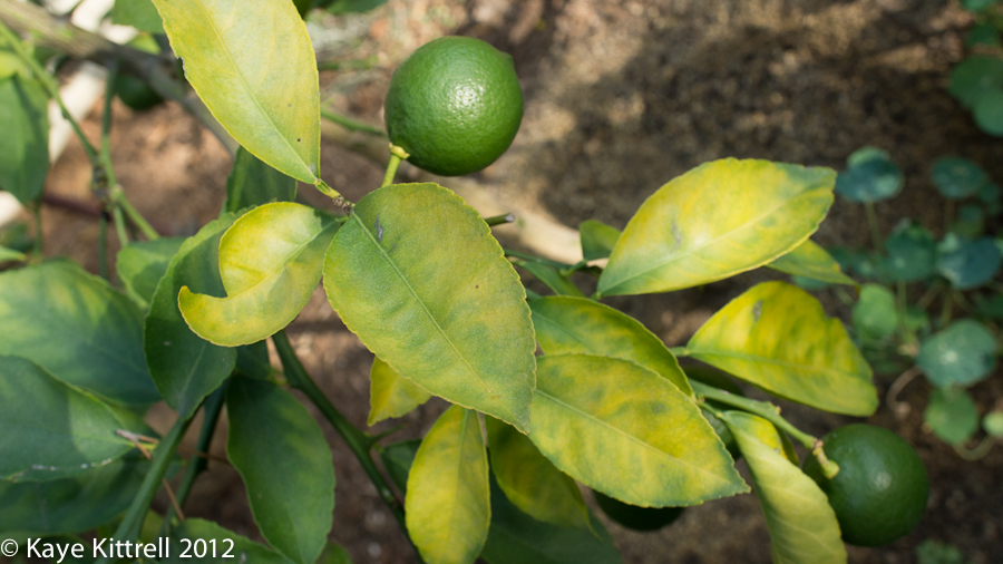 Grow fruit latebloomershow for What does a lemon tree seedling look like