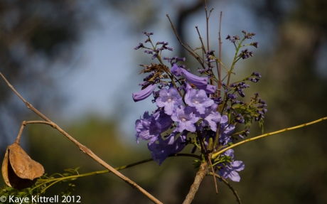 Jacaranda Tree with Purple Bloom by Kaye Kittrell