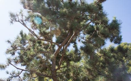 Pine Tree Half Pruned