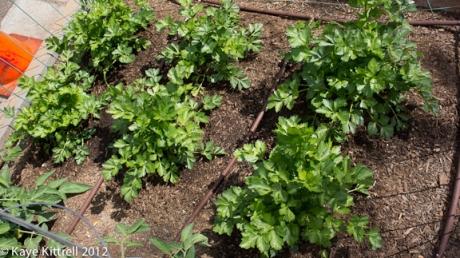 Celery Plants