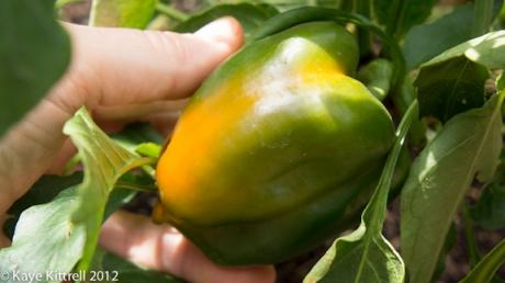 Ripening Orange Bell Pepper