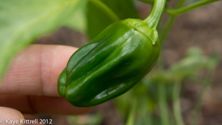 Immature Japanese Pepper