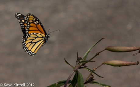Female Monarch Butterfly Landing on Tropical Milkweed