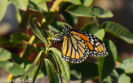 Female Monarch Butterfly Laying Egg on Butterfly Weed