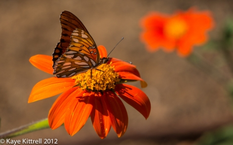 Gulf Fritillary Butterfly on Mexican Sunflower Wings Closed