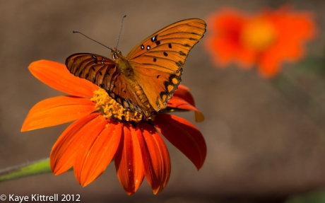 Gulf Fritillary Butterfly on Mexican Sunflower Wings Open