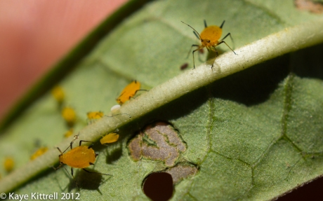 Orange Aphids and Larvae on Tropical Milkweed Leaf
