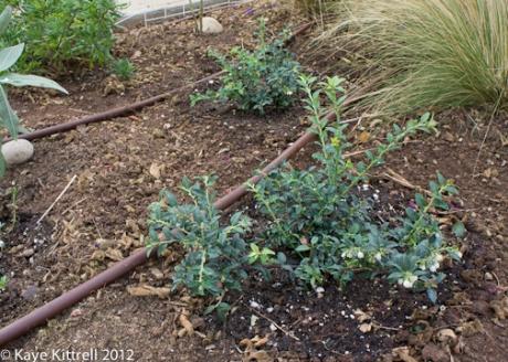Vaccinium - California Native Blueberry