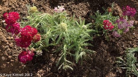 """Achillea Millefolium """"Pomegranate"""""""