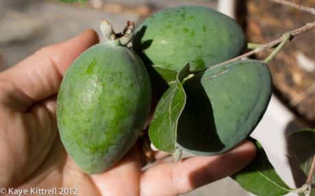 kk_lb-guava-3