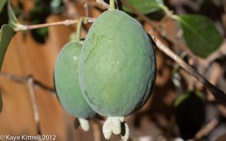kk_lb-guava-4
