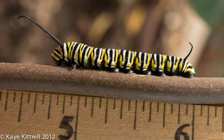 Monarch Caterpillar with Ruler