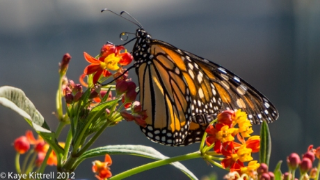 Female Monarch Butterfly by Kaye Kittrell
