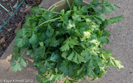 Fresh Picked Celery Leaves