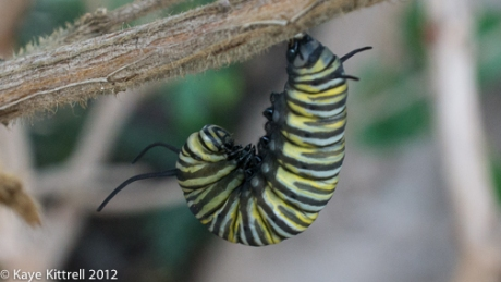 Monarch Caterpillar First Stage Chrysalis