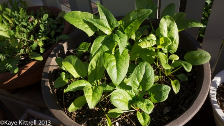Spinach Grown in a Pot