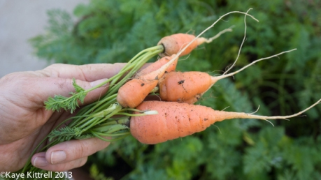 Home-grown Carrots