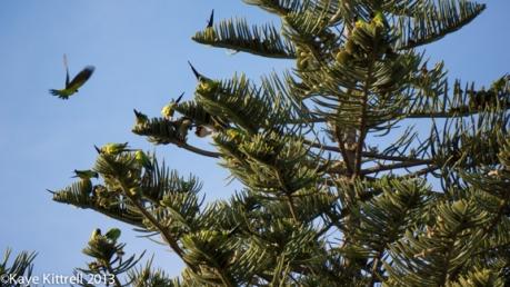 Nanday Conure Parrots