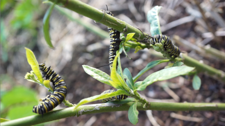 Monarch Caterpillars Feeding